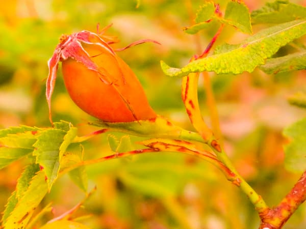 Rose Hip Color