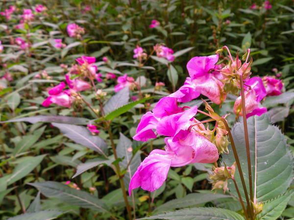 The Pink Ladies, Schwarzwald (Black Forest), Braunlingen, Germany