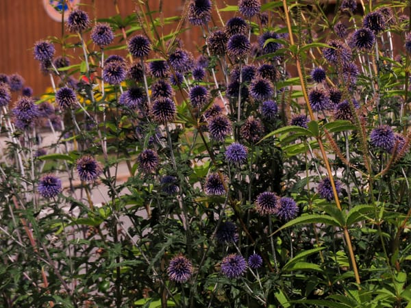 Purple Pom Pom Flowers, Braunlingen, Germany