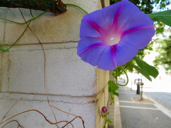 Good Morning Sunshine, Blue Morning Flower, Prague, Czechia