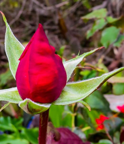 Rose Bud, Mori Bluff Trail, Rockaway Beach, Pacifica, CA