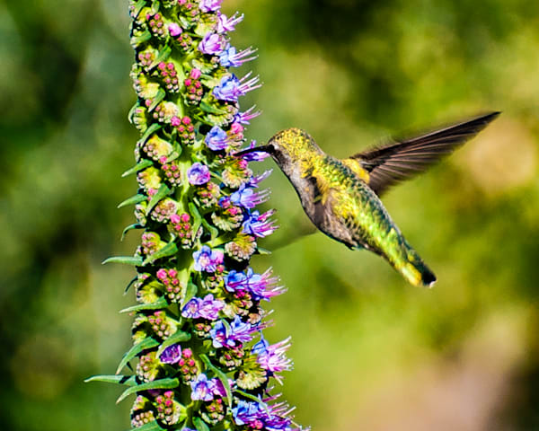 Kaylee S Hummingbird Art | Carrera Fine Art Gallery