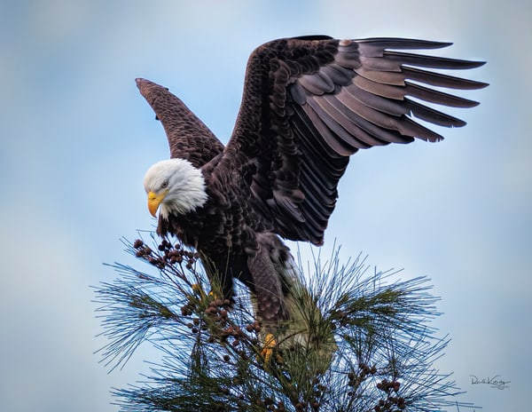 Eagles of the Pines Fine Art