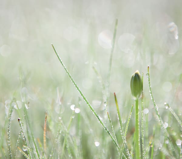 Morning Dew Photography Art | Jae Feinberg Fine Art Photo