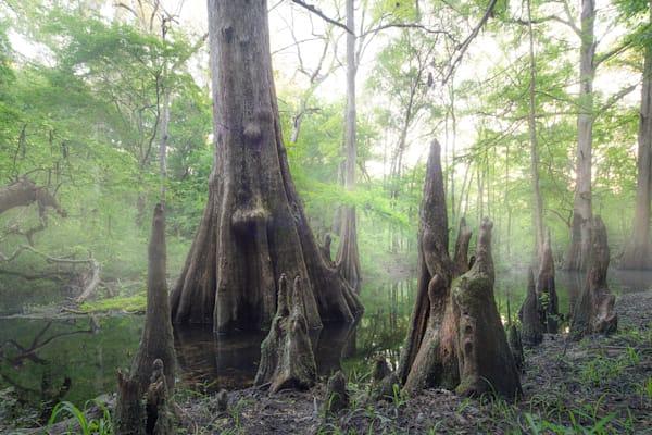 8244 Cypress Swamp