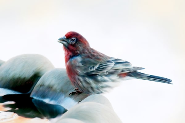 Finch is a painting of a small bird on my feeder/ Shop fine art photography by An Artist's View Photography