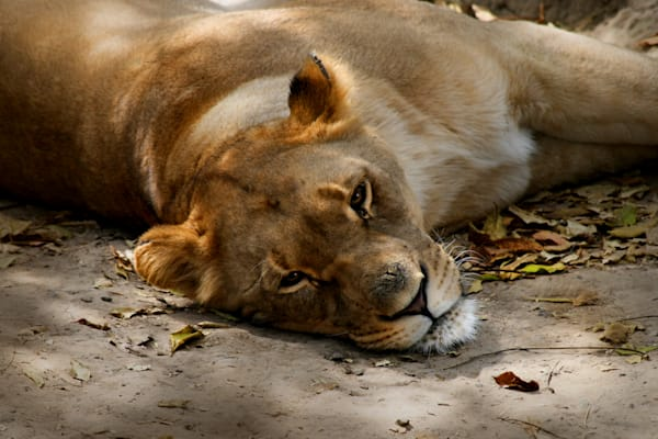 Sleepy Lion is a beautiful image of a lion taking a nap/ Shop fine art photography by An Artist's View Photography