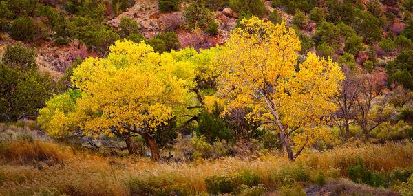 Yellow Tree 1 Zion Panorama1 Lum Photography Art | RaberEYES