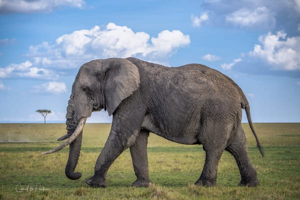 The Old Bull Elephant #1   Deluxe Photography Art | Carol Brooks Parker Fine Art Photography