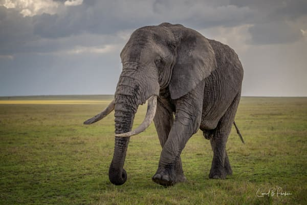 The Old Bull Elephant #2   Deluxe Photography Art | Carol Brooks Parker Fine Art Photography