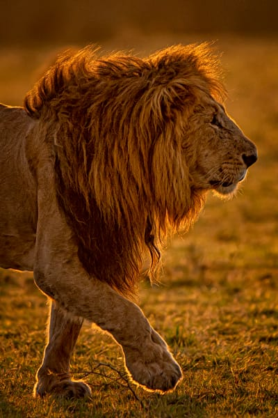 Portrait Of A Legendary Lion Photography Art | Carol Brooks Parker Fine Art Photography