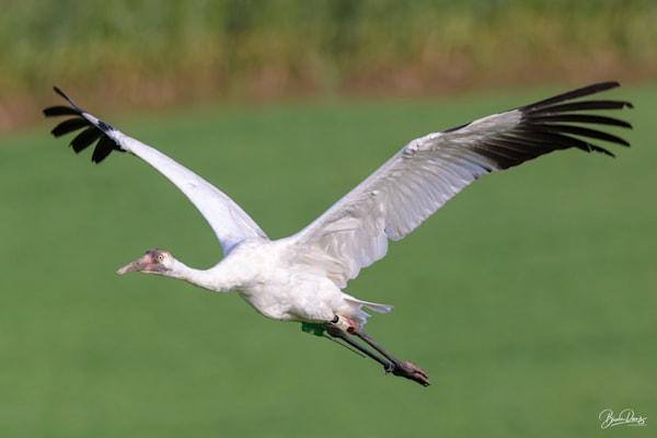 Juvenile Whooping Crane Art   brucedanz
