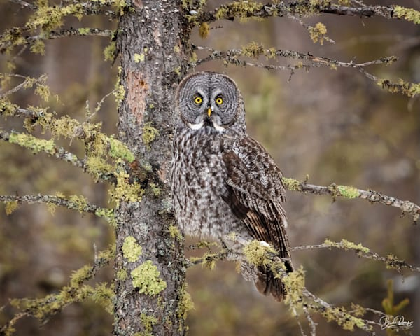 Great Gray Owl With Lichens Photography Art   brucedanz