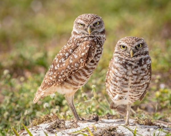Burrowing Owl Pair Photography Art | brucedanz