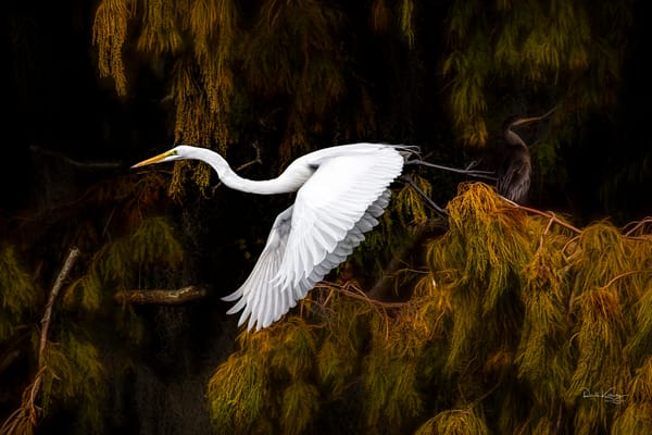 The Cypress and The Great White Egret Fine Art