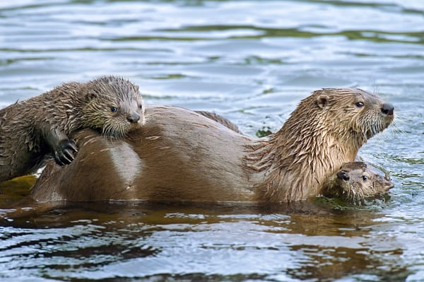Northern River Otter (Lontra canadensis) mother with two of her pups.  Western U.S., summer.