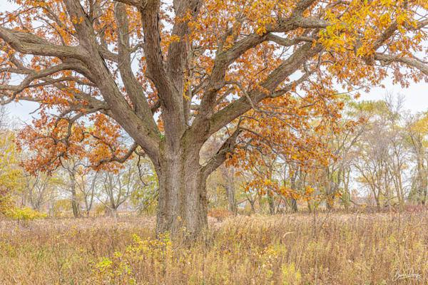 Old Oak In Fall Photography Art | brucedanz