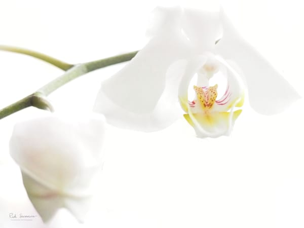 White Orchid Pair