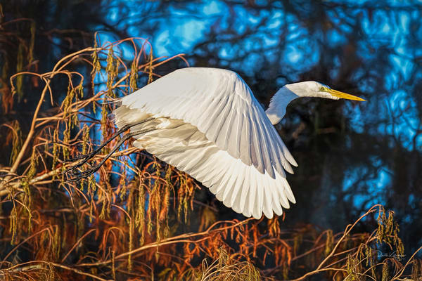 A Great White Takes Flight