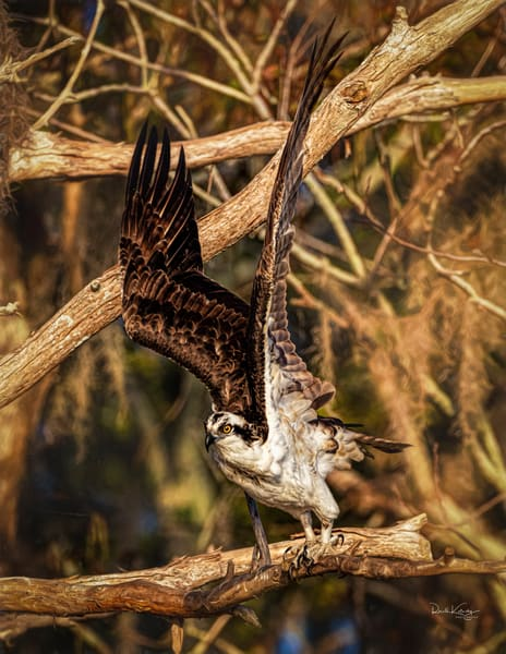 The Osprey and the Cypress Fine Art