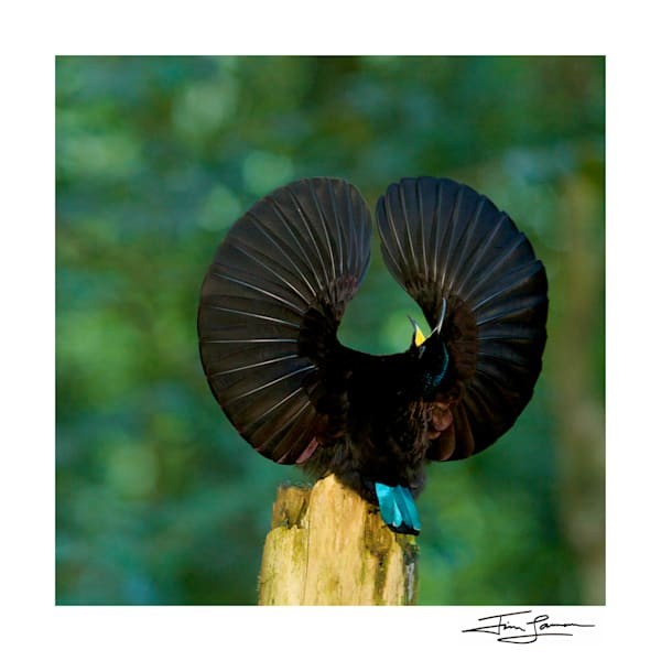 Victoria's Riflebird   Wings Spread Photography Art | Tim Laman