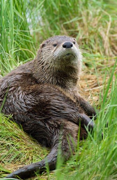 River Otter on grassy log in lake.  Western U.S.