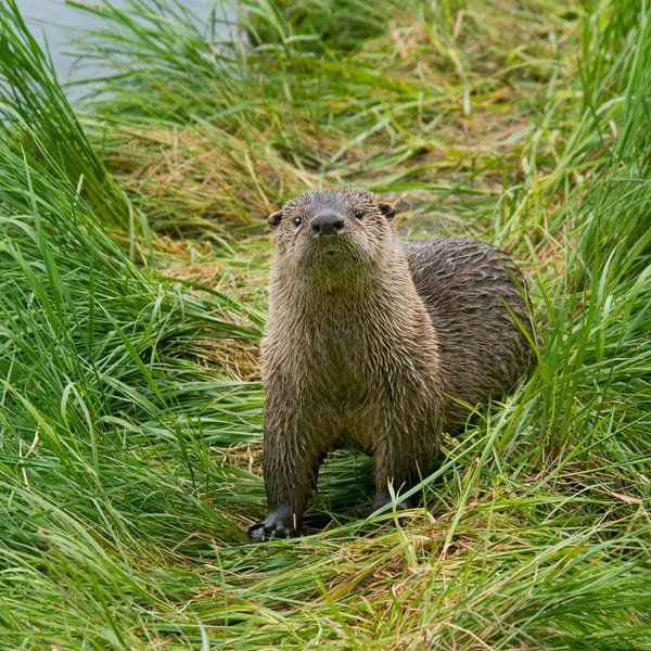 Northern River Otter (Lontra canadensis).  Western U.S., Summer.