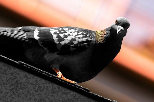 Boss Pigeon