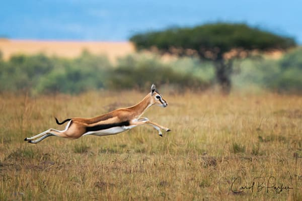 Thomson's Gazelle Fleeing From Cheetah - Deluxe