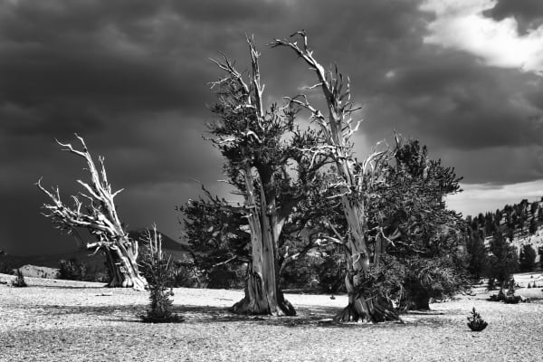 A grove of bristlecone pines, the world's oldest living things, Inyo National Forest.