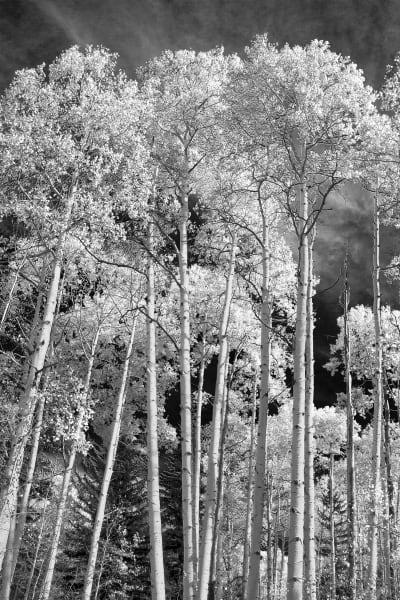 Aspen Trees La Sal Mountains Utah B W Photography Art | ePictureGallery