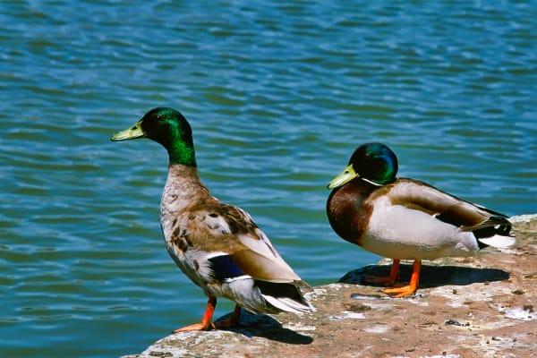 Ducks Germany Photography Art   ePictureGallery