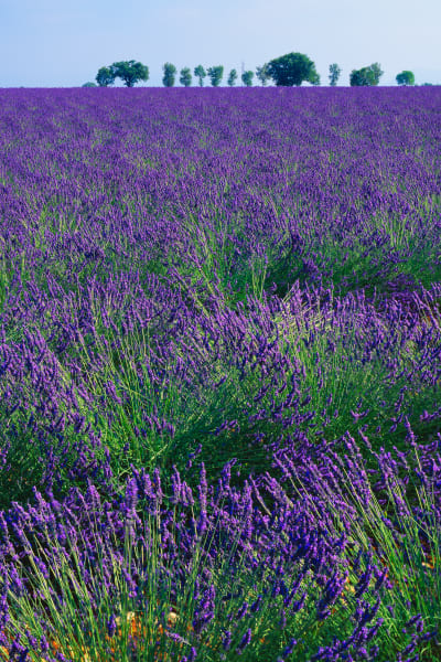 Lavender plants in southern France