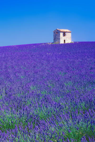 Lavender field in southern France.