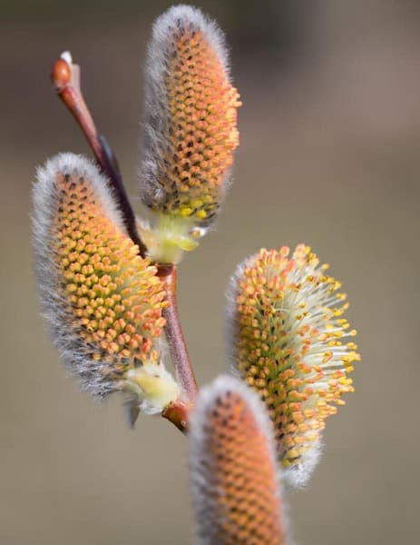 Blossoming Pussy willows - shop fine-art notecards | Closer Views