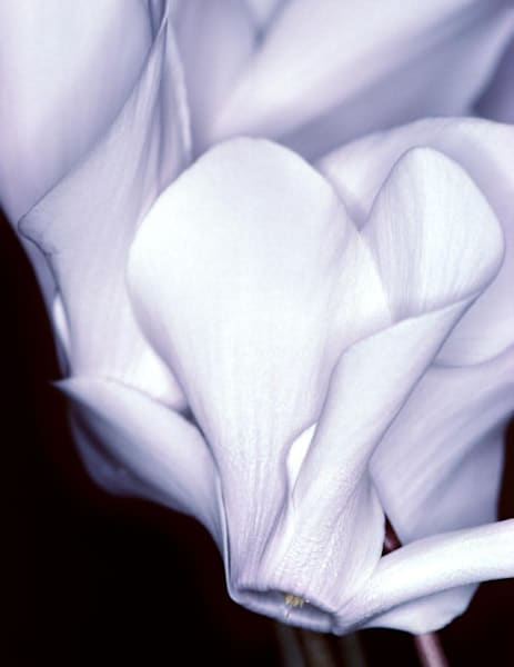 Silky Cyclamen flowers - shop fine-art notecards | Closer Views