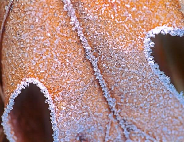 Frost covered Oak Leaf - shop fine art prints | Closer Views
