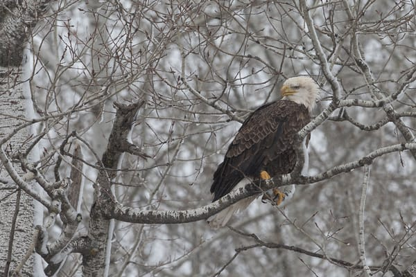 Bald Eagle in the Northern Minnesota Snow Covered Trees - Photo Print