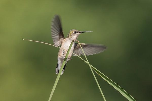 Ruby-Throated Hummingbird Landing On Grass