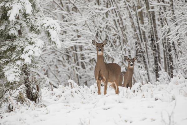 Whitetail Deer In Minnesota Winterscapes - Wildlife Photography By Bill Van der Hagen
