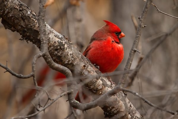 Northern Cardinal Perched - Songbird photography by Bill Van der Hagen