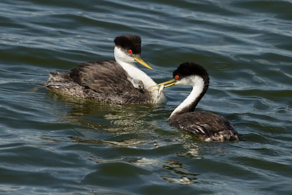 Western Grebe Feeding Young On Back - Photography by Bill Van der Hagen