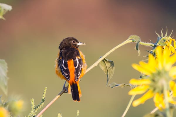 Baltimore Oriole Perched - Bird photography prints