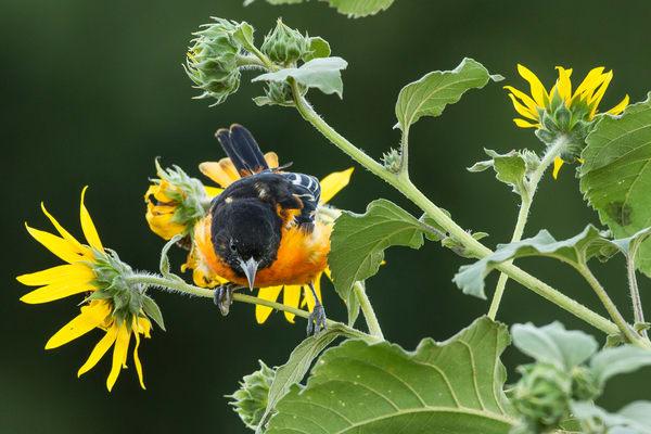 Oriole In The Prairie Flowers by Bill Van der hagen