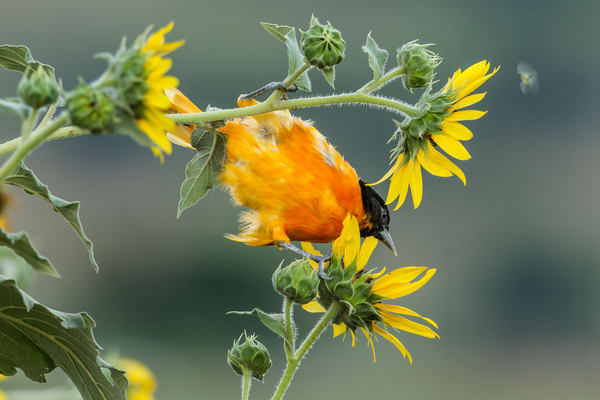 Baltimore Oriole Balancing In the Sun Flowers - Nature photography