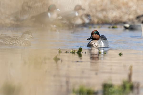 Greenwing Teal In Prairie Wetlands - Nature Photography