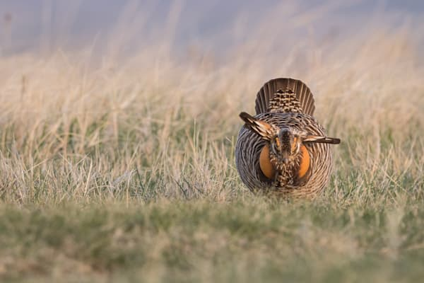 Prairie Chicken On The Lek - Wildlife Photography