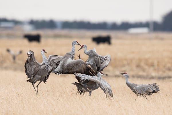 Sandhill Cranes Dance - Nebraska Wildlife Photography by Bill Van der Hagen