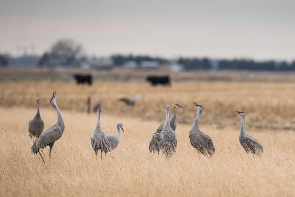 Sandhill Cranes Chatter - Nebraska Wildlife Photography by Bill Van der Hagen