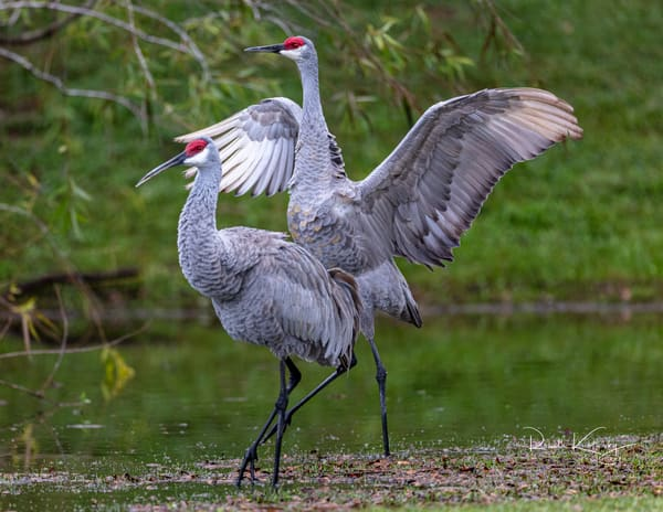 The Dynamic Duo - Sandhill Cranes